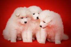 Three White Puppy of Samoyed Dog on Red Background. Stock Photo