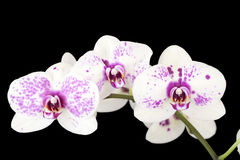 Three white and purple orchid flowers on black Stock Photo