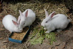 Three white rabbits Royalty Free Stock Image