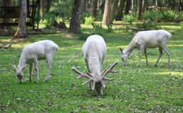 Three white red deers eating the grass in the forest. Three white red deers eating the green grass in the forest Royalty Free Stock Photography