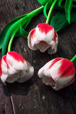 Three white red tulips Royalty Free Stock Images