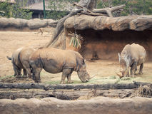 Three white rhino eat food and drink water with brown rock and f. Orest soft focus background stock image