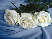 Three white roses. On blou silk scarf Royalty Free Stock Image