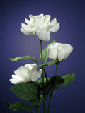 Three White Roses. Three white silk (artificial) roses naturally lit Royalty Free Stock Photos