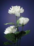 Three White Roses. Three white silk (artificial) roses naturally lit royalty free stock photos
