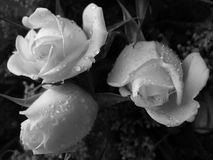 Three White Roses. But in black-and-white stock images