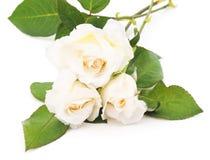 Three white roses. Royalty Free Stock Photo