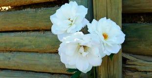 Three white roses stock photos
