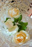 Three white roses top view  Stock Photos