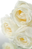 Three white roses with water drops royalty free stock image