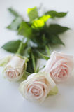 Three white roses on a white background. ! Royalty Free Stock Photo