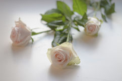 Three white roses on a white background. ! stock photo
