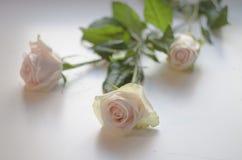 Three white roses on a white background Stock Photo