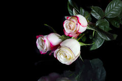 Three White Roses With Pink Edges Of Petals On Black Stock Image