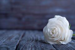 Three White Roses Royalty Free Stock Photos