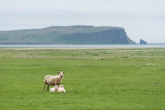 Three white sheep on a green field in Iceland. Three white sheep on pasture. Field with green grass in Iceland. View of Cape Dyrholaey on the southern coast, not royalty free stock photography