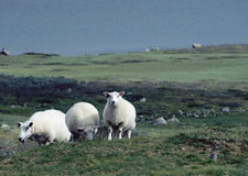 Three white sheeps in Norway Royalty Free Stock Image
