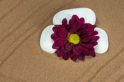 Three White Stones with Purple Gerber. On Brown Sand Royalty Free Stock Image