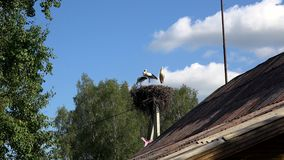 Three white storks on electricity pole near rural village house. Zoom in shot. 4K stock video