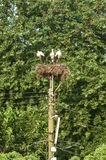Three white storks in nest stock images