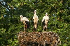 Three white storks in nest royalty free stock photos