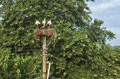 Three white storks in nest royalty free stock photography