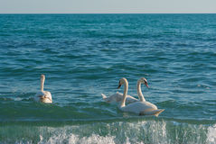 Three white swan swim in Black Sea in Crimea Royalty Free Stock Photography