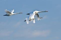 Three White Swans Royalty Free Stock Photo