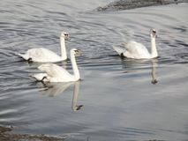 Three white swans in the river. Three white swans and their reflections in the river Medway, Kent, UK royalty free stock photos