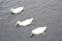 Three swans swimming royalty free stock photography