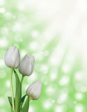Three white tulip flowers with green abstract bokeh spring background. With sun rays Royalty Free Stock Images