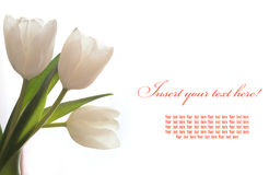 Three white tulip greeting card Royalty Free Stock Photo