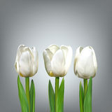 Three white tulip. Realistic vector flowers on a gray background. White tulips with green leaves. Spring flowers Stock Photography
