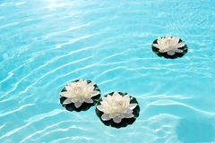 Three white water lilies or lotus flowers on water Stock Image