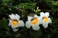 Three White and Yellow Flowers. Three white and yellow flower on a green backgraound royalty free stock photography