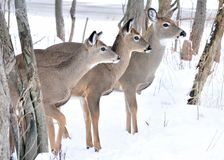 Three Whitetail Deer Stock Images