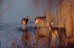 Three Whitetail deer in water. Three whitetail deer early morning in lake Stock Photography