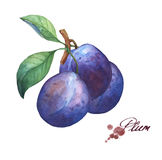 Three whole plum on branch with leaves. stock illustration