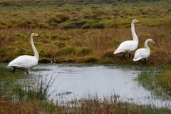 Three Whooper Swans stock image