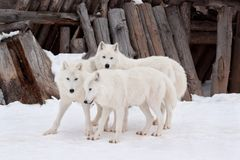 Three wild alaskan tundra wolves are playing on white snow. Canis lupus arctos. Polar wolf or white wolf. Animals in wildlife stock photos