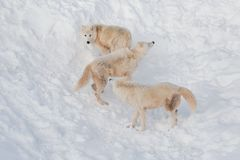Three wild alaskan tundra wolves are playing on white snow. Canis lupus arctos. Polar wolf or white wolf. Animals in wildlife royalty free stock photo