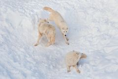 Three wild alaskan tundra wolves are playing on white snow. Canis lupus arctos. Polar wolf or white wolf. Animals in wildlife royalty free stock photos