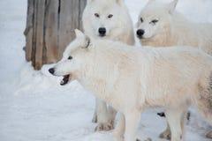 Three wild alaskan tundra wolves are standing on white snow. Canis lupus arctos. Polar wolf or white wolf. Animals in wildlife stock photo