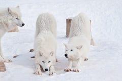 Three wild arctic wolf are playing on white snow. Animals in wildlife. Canis lupus arctos. Polar wolf or white wolf stock photo