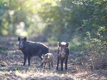Three wild boars in forest Royalty Free Stock Photography
