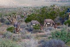 Three Wild Burros Stock Photos