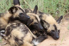 Three wild dogs laying on each other Royalty Free Stock Photo