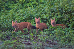 Three wild dogs. Rare and endangered wild dog sighted in karnataka state of India Royalty Free Stock Photos