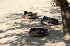 Three wild ducks mallard seating on the sand near the lake in the shade of trees royalty free stock photos