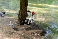 Three wild ducks mallard seating on the sand near the lake in the shade of trees. Two wild ducks muscovy and crested with red head, white breast and black wings Stock Photo